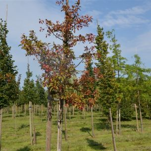 Apple tree 'Red splender'