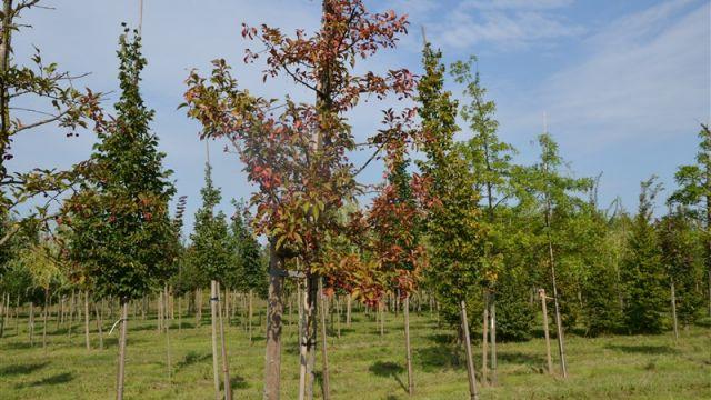 Apple tree 'Red splender'