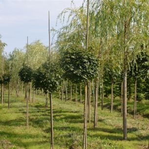 Field maple 'Nanum'