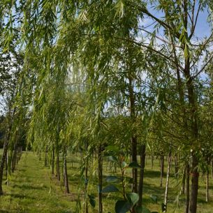 Golden weeping willow 'Chrysocoma'