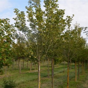 Field maple 'Huibers Elegant'