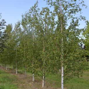 Silver birch 'Zwisters glory'