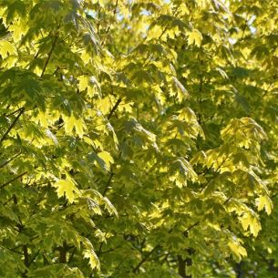 Norway maple 'Drummondii'