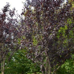 Cherry plum 'Nigra'
