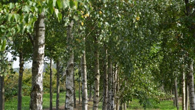 Himalayan birch 'Doorenbos'
