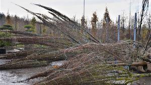 Наши деревья экспортируются в Западную Европу