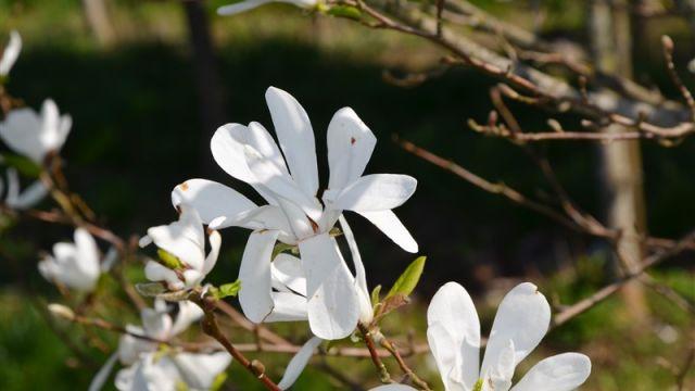 Japoninė magnolija